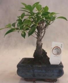 Bonsai ağacı japon ağaç bitkisi  Konya çiçek servisi , çiçekçi adresleri