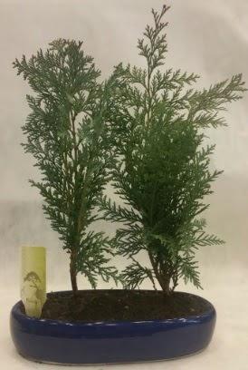 SINIRLI SAYIDA Selvi Ağacı bonsai ikili  Konya kaliteli taze ve ucuz çiçekler