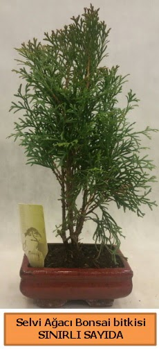 Selvi ağacı bonsai japon ağacı bitkisi  Konya güvenli kaliteli hızlı çiçek