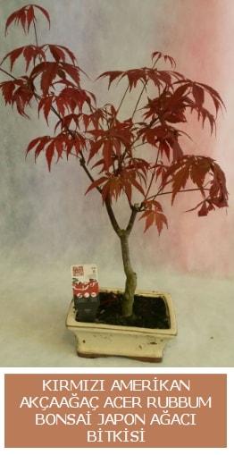Amerikan akçaağaç Acer Rubrum bonsai  Konya çiçekçi mağazası