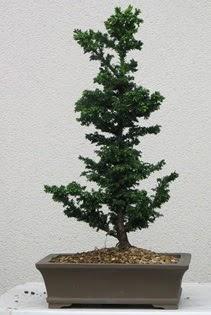 Çam ağacı bonsai bitkisi satışı  Konya kaliteli taze ve ucuz çiçekler