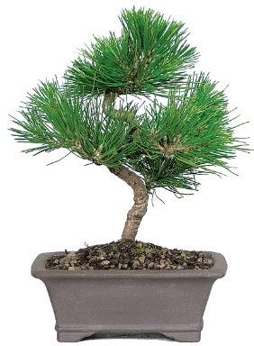 Çam ağacı bonsai japon ağacı bitkisi  Konya çiçek mağazası , çiçekçi adresleri