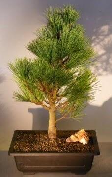Çam ağacı japon ağacı bitkisi bonsai  Konya kaliteli taze ve ucuz çiçekler