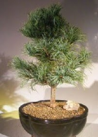 Çam ağacı bonsai bitkisi satışı  Konya online çiçekçi , çiçek siparişi