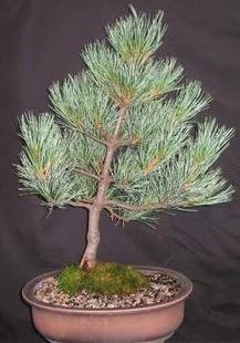 Bonsai çam ağacı japon ağacı bitkisi  Konya çiçek gönderme sitemiz güvenlidir