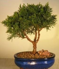 Servi çam bonsai japon ağacı bitkisi  Konya çiçek servisi , çiçekçi adresleri