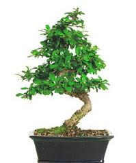 Bonsai bitkisi satışı  Konya kaliteli taze ve ucuz çiçekler