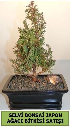 Selvi çam japon ağacı bitkisi bonsai  Konya kaliteli taze ve ucuz çiçekler