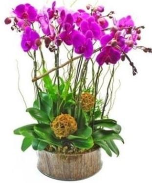 Ahşap kütükte lila mor orkide 8 li  Konya çiçek yolla