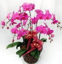 Sepet içerisinde 5 dallı lila orkide  Konya online çiçekçi , çiçek siparişi