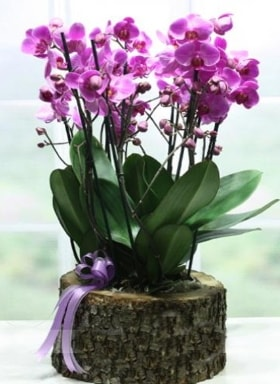 Kütük içerisinde 6 dallı mor orkide  Konya online çiçekçi , çiçek siparişi