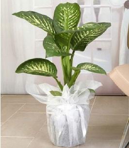 Tropik saksı çiçeği bitkisi  Konya güvenli kaliteli hızlı çiçek