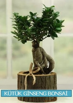 Kütük ağaç içerisinde ginseng bonsai  Konya çiçek online çiçek siparişi