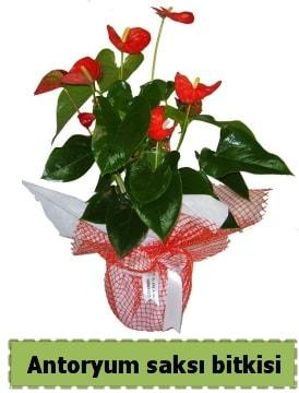 Antoryum saksı bitkisi satışı  Konya yurtiçi ve yurtdışı çiçek siparişi