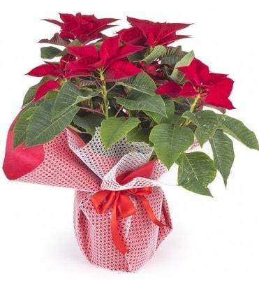 Atatürk çiçeği saksı bitkisi  Konya çiçek online çiçek siparişi
