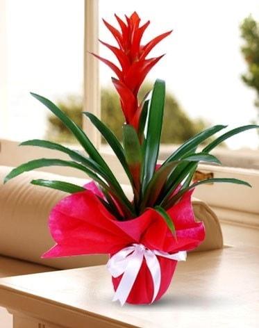 Guzmanya Saksı Çiçeği  Konya çiçek servisi , çiçekçi adresleri