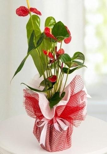 Anthurium Saksı Çiçeği  Konya çiçek yolla , çiçek gönder , çiçekçi
