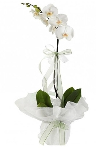 Tekli Beyaz Orkide  Konya çiçek yolla , çiçek gönder , çiçekçi