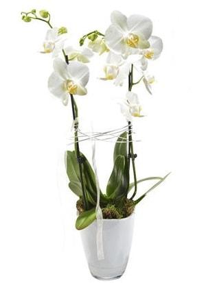 2 dallı beyaz seramik beyaz orkide saksısı  Konya çiçek online çiçek siparişi