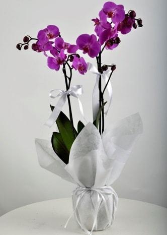 Çift dallı saksıda mor orkide çiçeği  Konya çiçek satışı
