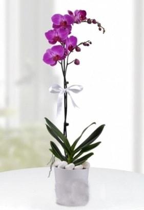 Tek dallı saksıda mor orkide çiçeği  Konya çiçek gönderme