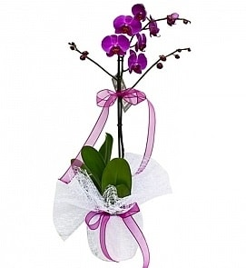 Tek dallı saksıda ithal mor orkide çiçeği  Konya çiçek gönderme