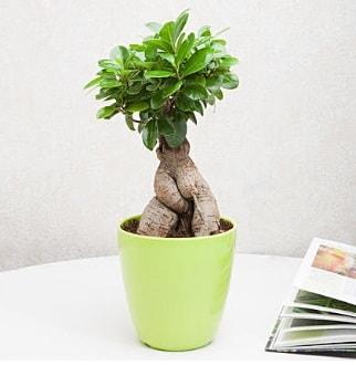 Ficus Ginseng Bonsai  Konya çiçek siparişi sitesi