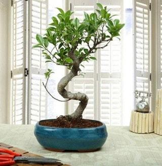 Amazing Bonsai Ficus S İthal  Konya çiçekçi telefonları