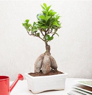Exotic Ficus Bonsai ginseng  Konya çiçek siparişi vermek