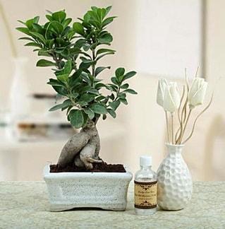 Ginseng ficus bonsai  Konya çiçek gönderme