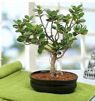 Lovely Ficus Iceland Bonsai  Konya internetten çiçek satışı