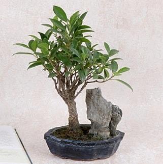 Japon ağacı Evergreen Ficus Bonsai  Konya çiçek online çiçek siparişi