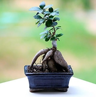Marvellous Ficus Microcarpa ginseng bonsai  Konya çiçek satışı