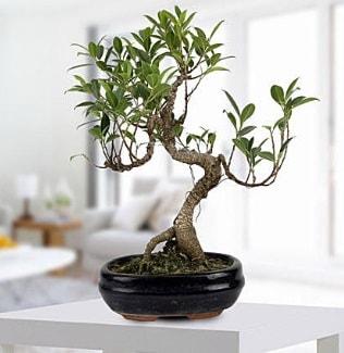 Gorgeous Ficus S shaped japon bonsai  Konya uluslararası çiçek gönderme