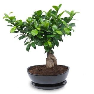 Ginseng bonsai ağacı özel ithal ürün  Konya çiçek yolla