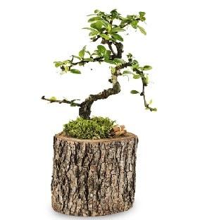 Doğal kütükte S bonsai ağacı  Konya güvenli kaliteli hızlı çiçek