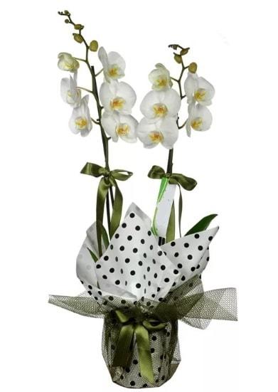 Çift Dallı Beyaz Orkide  Konya çiçek siparişi sitesi