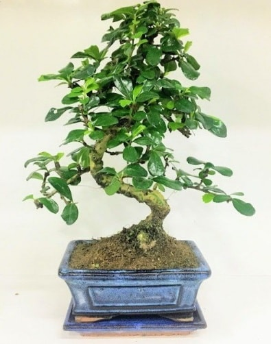 S Bonsai japon ağacı bitkisi  Konya çiçekçi mağazası