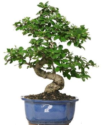 21 ile 25 cm arası özel S bonsai japon ağacı  Konya kaliteli taze ve ucuz çiçekler