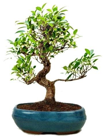 25 cm ile 30 cm aralığında Ficus S bonsai  Konya çiçek online çiçek siparişi