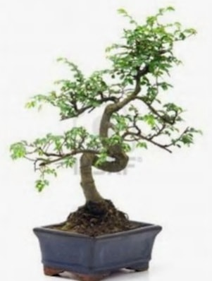 S gövde bonsai minyatür ağaç japon ağacı  Konya güvenli kaliteli hızlı çiçek