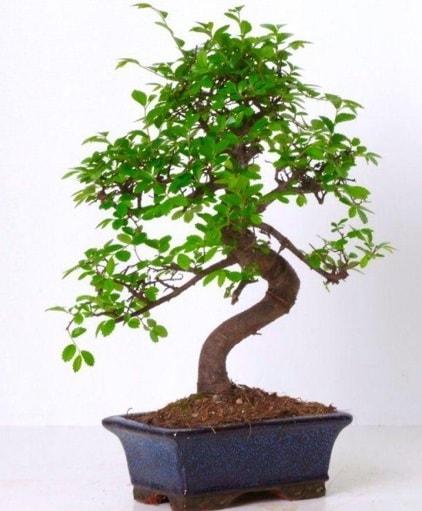 S gövdeli bonsai minyatür ağaç japon ağacı  Konya çiçek online çiçek siparişi