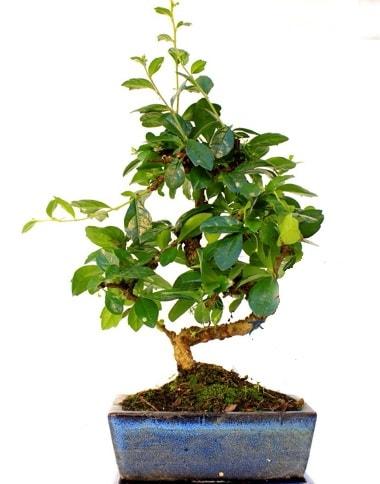 S gövdeli carmina bonsai ağacı  Konya çiçek servisi , çiçekçi adresleri  Minyatür ağaç