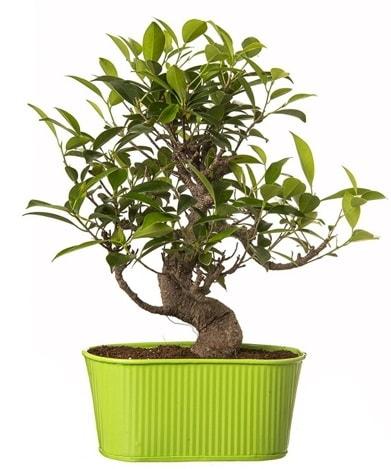 Ficus S gövdeli muhteşem bonsai  Konya çiçek gönderme sitemiz güvenlidir