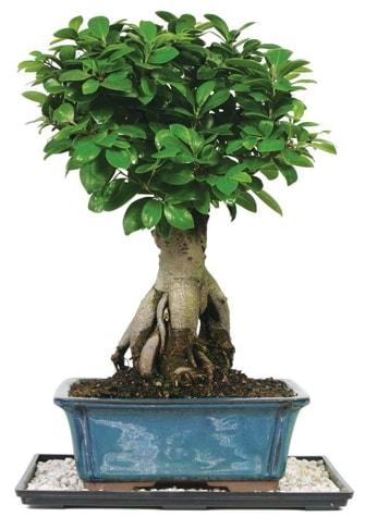Bonsai Ginsing Grafted Ficus Bonsai  Konya çiçek servisi , çiçekçi adresleri