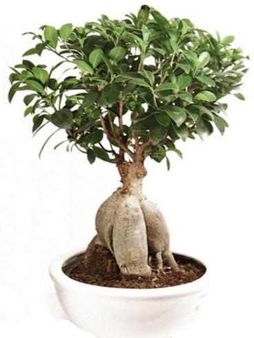 Ginseng bonsai japon ağacı ficus ginseng  Konya hediye sevgilime hediye çiçek